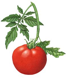 Botanical illustration of a tomato branch with a whole tomato and leaves.