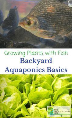 Aquaponics is a growing technique that combines aquaculture (growing fish) and hydroponics (growing plants in water). #AquaponicsandHydroponics
