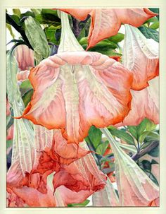 Janie Pirie  'Angels Trumpets', colored pencil