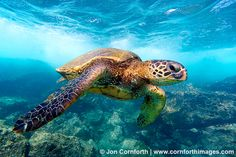 Green sea turtles are found in the pacific, atlantic and indian oceans (worldwide in seas where temperature does not fall below 20°c). Description from hairstylerideas.top. I searched for this on bing.com/images