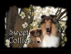 Collies for sale, Collie puppies for sale, Sweet Collies, Rough ...