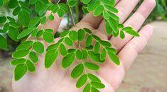 Výživový doplnok Moringa je 100 % sušina z listov Moringy olejodárnej, inak nazývanej aj strom života. Tento prírodný doplnok obsahuje bohatý komplex 90 živín (vitamínov, minerálov či proteínov) potrebných pre ľudské telo a jeho správne fungovanie. Plant Leaves, Plants, Plant, Planets