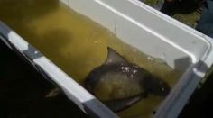 Shark stuck in pond caught and set free