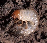 Annual White Grub is the most serious turfgrass pest in Illinois.  Grubs feed on turfgrass roots, that will damage and can kill the grass. Grub damage appears as brown areas and when enough feeding   damage has occurred, lawns may be rolled up like carpeting.Moles,skunks, and birds often dig for the larvae and also damage the lawn.  Grub damage can vary from year to year. During dry summers, grubs may be more concentrated in well-watered lawns. During wet summers, damage may not appear at…