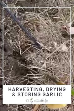 Learn when garlic plants are ready to harvest, how to cure garlic to last longer, and how to store garlic for the winter. You can enjoy your garlic harvest all year with these tips! | It's My Sustainable Life @itsmysustainablelife #garlicharvesting #garlicstorage #garlicstorageideas #howtostoregarlic #itsmysustainablelife Organic Gardening Tips, Gardening Hacks, Vegetable Gardening, Garlic Storage, Harvesting Garlic, How To Store Garlic, Fresh Eats, Herb Garden In Kitchen, Homestead Gardens