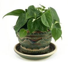 philodendron baño planta
