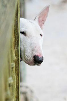 #dog #bullterrier #bullterrierpics #bullterrierlove #bullterrierlife #bully #ebt #englishbullterrier