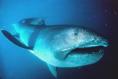 Megamouth Shark (ugly)