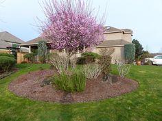 rosa magnolia träd sverige - Sök på Google