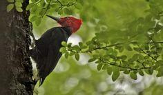 Picamaderos de Magallanes (Magellanic Woodpecker) (Salvador Solé Soriano)
