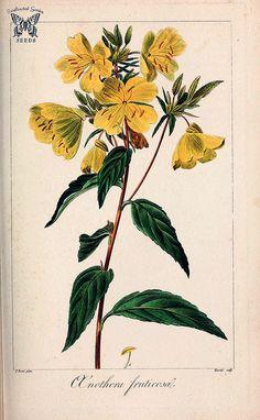 Oenothera fruticosa. Herbier général de l'amateur, vol. … | Flickr