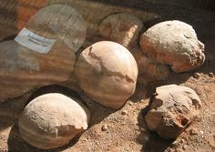 Unos huevos de dinosaurio perfectamente conservados