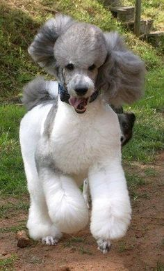 Poodle Dogs Tintlet Here's Your Sign - Rune Poodle Cuts, Poodle Mix, Poodle Puppies, Poodle Grooming, Dog Grooming, I Love Dogs, Cute Dogs, Awesome Dogs, Toy Poodle Apricot