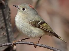 Ruby-crowned Kinglet. June 1, 2015. Redstone, CO.  Found this guy flitting about the trees at our campground.  Got a picture (not this one) of him right as he was fluffing his feathers so I could see the ruby crown.