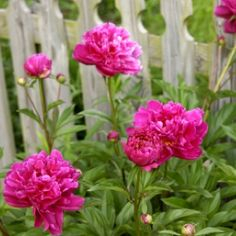 Peonies are a favorite of many gardeners.  Here are some tips for planting and growing them.