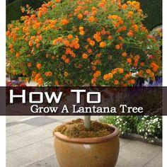 How To Grow A Lantana Tree. - imagine the butterflies and hummingbirds visiting this lantana topiary!
