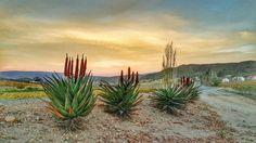 Alwyn Landscape Art, Cactus Plants, Beautiful Images, Africa, Serendipity, Oil Paintings, Landscapes, Star, Random