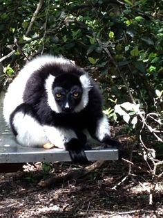 Monkeyland Port Elizabeth, Comfort Zone, Panda Bear, South Africa, Spaces, Rompers, Panda, Pandas