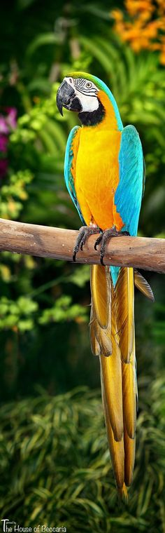 ~Macaw (Arara) .... BRAZIL  ...... The House of Beccaria