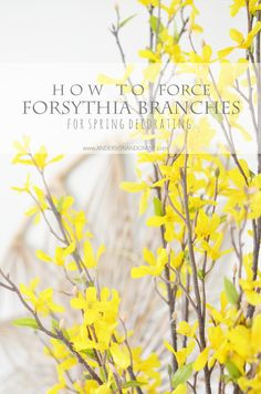 anderson + grant: Forcing Forsythia to Bloom Indoors for Spring Decorating