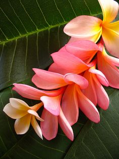 I hate hibiscus and plumeria. Tropical Flowers, Hawaiian Flowers, Exotic Flowers, Tropical Plants, Plumeria Flowers, Lemon Flowers, Lilies Flowers, Colorful Flowers, Purple Flowers