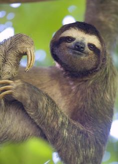 Brown-throated three-toed sloth by Milo Burcham