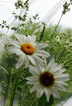 gifs et tubes belles images - Page 5 Happy Flowers, My Flower, White Flowers, Flower Power, Beautiful Flowers, Daisy May, Daisy Love, Sunflowers And Daisies, Wildflowers