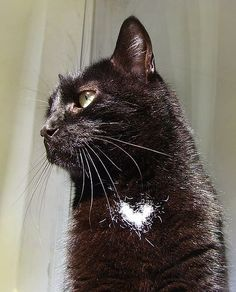 A black cat with a white heart. I love cats. This looks just like Milk Chan! Crazy Cat Lady, Crazy Cats, Black Cat Aesthetic, Cats Tumblr, Heart In Nature, White Cats, Black Cats, Beautiful Cats, I Love Cats
