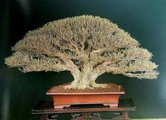 288 Best Bonsai And Terrariums Images On Pinterest Bonsai Trees