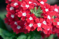 Verbena flower photo art print for interior design Hardy Perennials, Flowers Perennials, Planting Flowers, Very Beautiful Flowers, Beautiful Gardens, Fall Flowers, Colorful Flowers, Veronica Plant, Hardy Geranium
