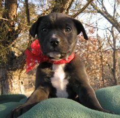 Black Tie the Labrador Retriever Mix ~ DogPerDay ~ Cute puppy pictures, dog photos, cute videos, holistic pet care