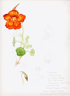 Lizzie Harper nasturtium botanical illustration final study