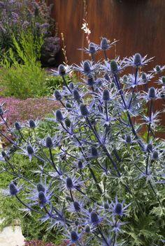 Eryngium x zabelii 'Big Blue' -R-