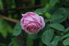 Rosa 'Madame Caroline Testout' -the rose responsible for Portland becoming the city of roses.  Come into my garden...