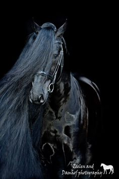 Handsome black Friesian. The Friesian is a light draft horse breed originating in Friesland, Netherlands.