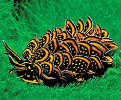 The Nicest Pictures: Amazing sea slug. Cyerce nigricans