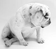 A #Bulldog is loyal, how i miss my dog...