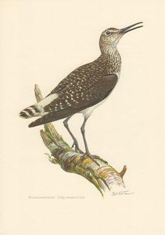 1956 Green Sandpiper, Antique Print, Vintage Lithograph, Tringa ochropus, Scolopacidae, Ornithology, Wading Bird, Waterbirds Illustration
