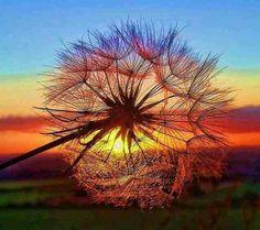 Dandy lion sunrise