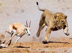 Ogni giorno in Africa il leone si sveglia e sa che dovrà correre più di una gazzella se non vorrà morire di fame. Ogni giorno in Africa la gazzella si sveglia e sa che dovrà correre più del leone se non vorrà essere uccisa. Non importa che tu sia leone o gazzella, l'importante è cominciare a correre .... ogni giorno .