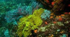 Resultado de imagem para arrecifes coralinos de panama