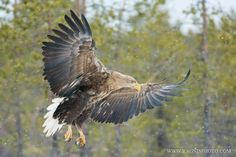 Photograph White-tailed Eagle by Ragnis Pärnmets on 500px
