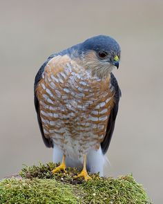 Sharp-shinned Hawk ............................................. Beautiful!!