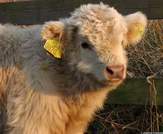 Love this cow <3 Want. Need. Must Have.