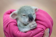 """magicalnaturetour: """" An adorable baby koala is seen enjoying a snooze after a traumatic start to life. The baby koala, nicknamed """"Blondie Bumstead"""", is being cared for by a volunteer from the Ipswich. Super Cute Animals, Cute Funny Animals, Cute Baby Animals, Animals And Pets, Koala Marsupial, Australia Animals, Mundo Animal, Tier Fotos, Cute Animal Pictures"""