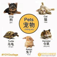 Learn the Chinese for different pets today! Then you can ask your Chinese friends: Do you have a pet? 你有没有宠物 (nǐ yǒu méi yǒu chǒng wù)?  What kind of pet do you have? 你有什么样的宠物 (nǐ yǒu shén me yàng de chǒng wù)?  I have a... 我有一只... (wǒ yǒu yì zhī...)  Do you have a pet that isn't shown in the collage?