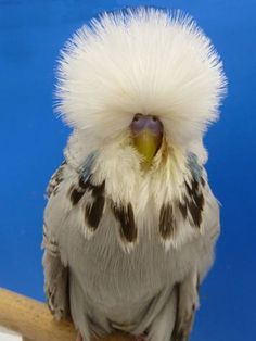 English Budgerigars Daniel Lütolf Switzerland Pretty Birds, Beautiful Birds, Animals Beautiful, Budgie Parakeet, Parakeets, Parrots, Show Budgies, Animals And Pets, Cute Animals