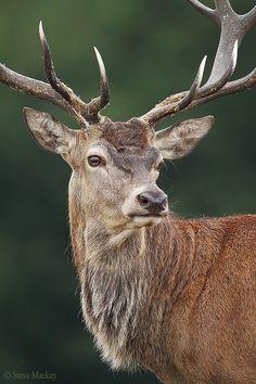 Red Deer Portrait II by Steve Mackay