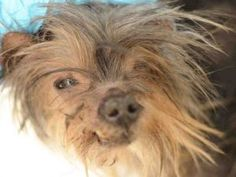 shih tzu heart murmur 1000 images about ny nj little paws small breed dogs in 5710
