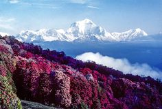 Dhaulagiri on the Annapurna Circuit from Poon Hill ablaze with gorgeous…